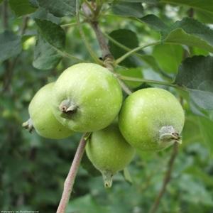 Если приснились неспелые или спелые зеленые яблоки