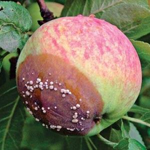 Если яблоко опавшее, сморщенное, подпорченное