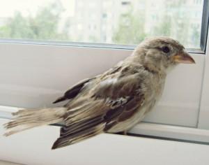 Воробей залетевший в окно