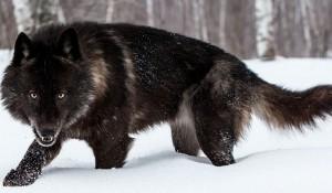 Стоны умирающего волка