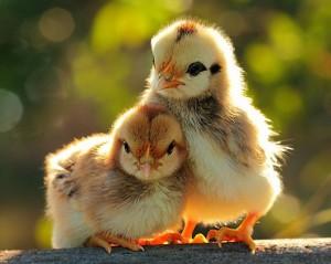 два цыплёнка