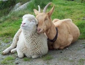 к чему снится овца