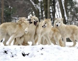стая волков приснилась