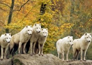 стая волков сонник