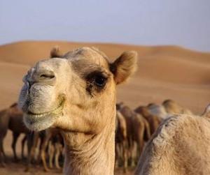 К чему снится верблюд и лев