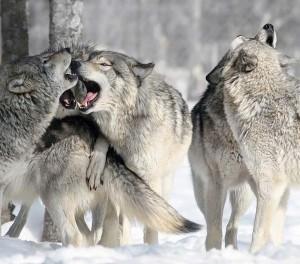 Сонник Стая(свора) Собак во сне видеть женщине которые нападают