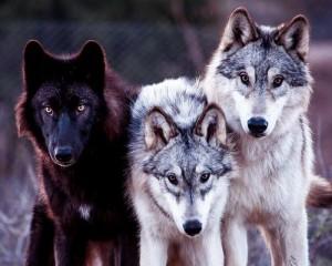 волки сонник