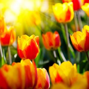 К чему снятся тюльпаны девушке фото