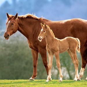 Конь с жеребенком