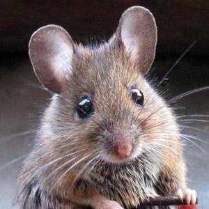 к чему снится мыши убить