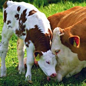 Телёнок с коровой