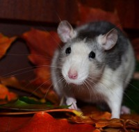 Толкование, если во сне укусила мерзкая крыса. О какой опасности предупреждает сон?