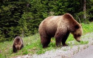 к чему снится медведь с медвежонком