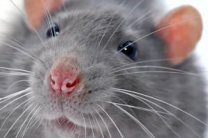 к чему снится то крыса укусила