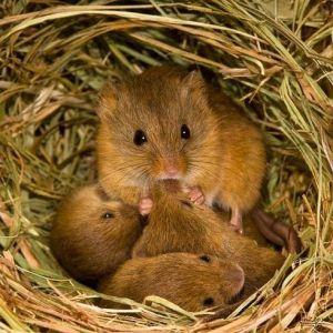 толкование снов мышек много