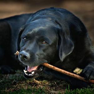 Черная собака во сне