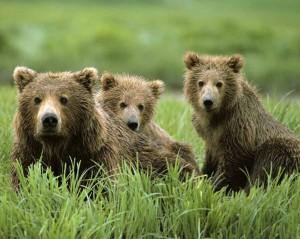 медвежата приснились