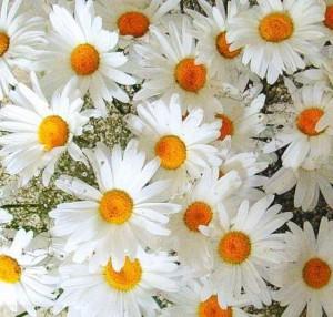 К чему снятся цветы хризантемы