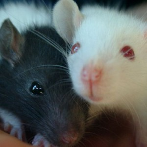 утонувшая мышь сонник