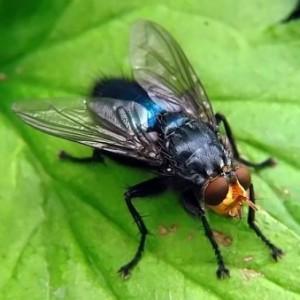 Сонник экскременты мухи