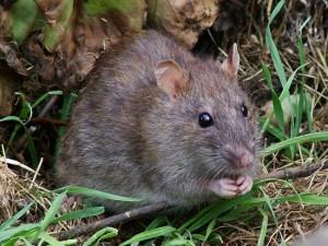 приснилось что крыса укусила