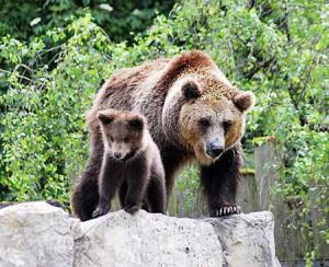 приснился медведь с медвежонком