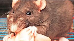 снится что крыса кусает