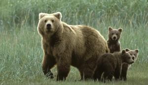 снится медведь с медвежонком