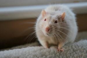 укусила крыса во сне