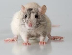 К чему снится как крыса убила кота