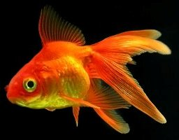 золотая рыбка в грязной воде