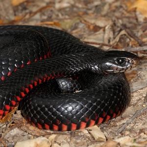 Если чёрные змеи снятся женщине или мужчине
