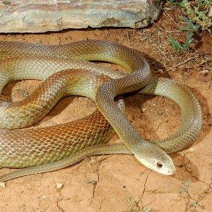 К чему снится сон о том, как змея убила змею