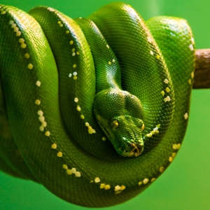 К чему снится зеленая змея которая убивает