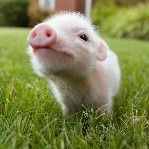 Лунный сонник – к чему снится живая свинья