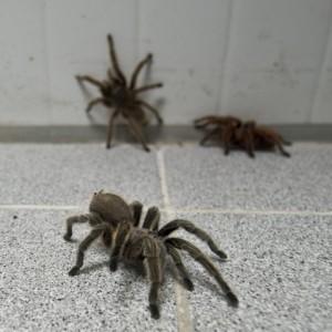 A few of the around 5,000 spiders bred  at a spider farm in Batuco, some 30 km north of Santiago on May 22, 2013.  Orellana's farm breeds a species of spiders (Grammostola mollicoma) --which despite its big size are harmless for humans-- and exports them  with great success to Europe, Asia and The U.S.A. to be kept as pets. AFP PHOTO / Martin BERNETTI        (Photo credit should read MARTIN BERNETTI/AFP/Getty Images)