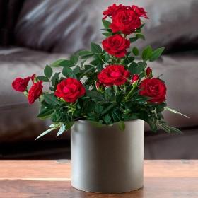 Сонник-домашние цветы