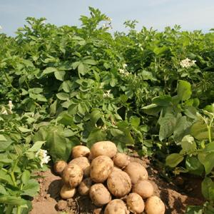 копать картошку во сне к чему