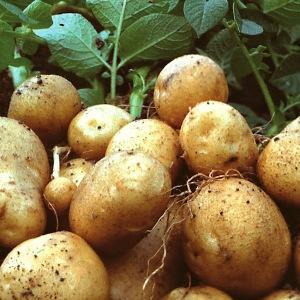 Сонник Миллера – сны о картофеле