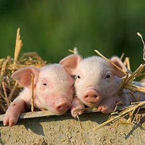 Живая свинья с поросятами – что предвещает сон