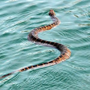 Змея напала в воде или на суше, но не укусила