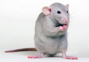 Если приснились мыши и кот