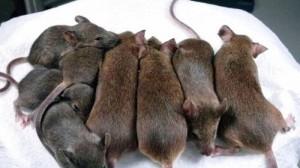 К чему снятся мыши и крысы во сне - мышь во сне что значит сонник