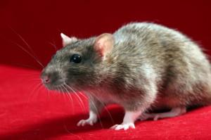 К чему снится крыса большая серая женщине