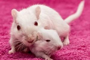 К чему снится дохлая крыса толкование сна сонник