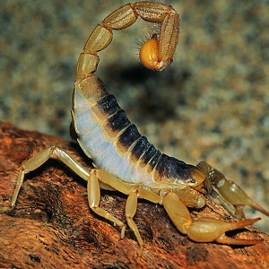 Ползущий скорпион