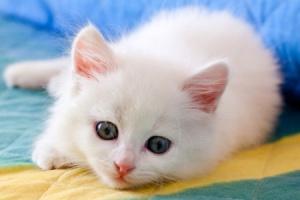 к чему снится белый котенок девушке
