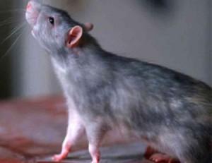 Что говорится в сонниках, к чему снится крыса серая большая