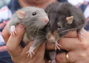 К чему снятся мышка и кот