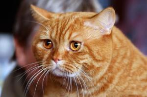 Сонник кошка с рыжими котами